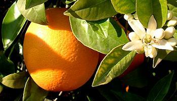 natillas ligeras con albaricoque y naranjas